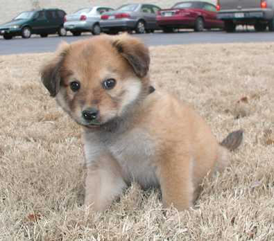 Chow Golden Retriever Mix Puppies