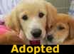 Golden Retriever Aussi Mix Pups - ADOPTED