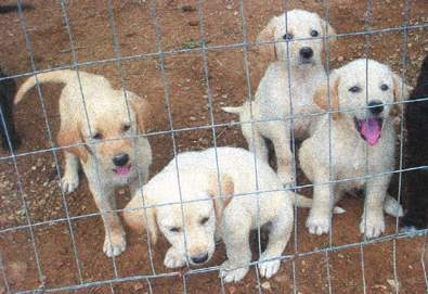 We Have An Adorable Litter Of 6 Week Old Pups Mother Is Full Blooded Yellow Lab Father Karabash Anatolian Shepherd